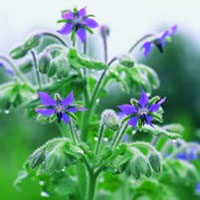 borage-herb